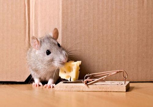 Le fromage attire les souris vers les pièges